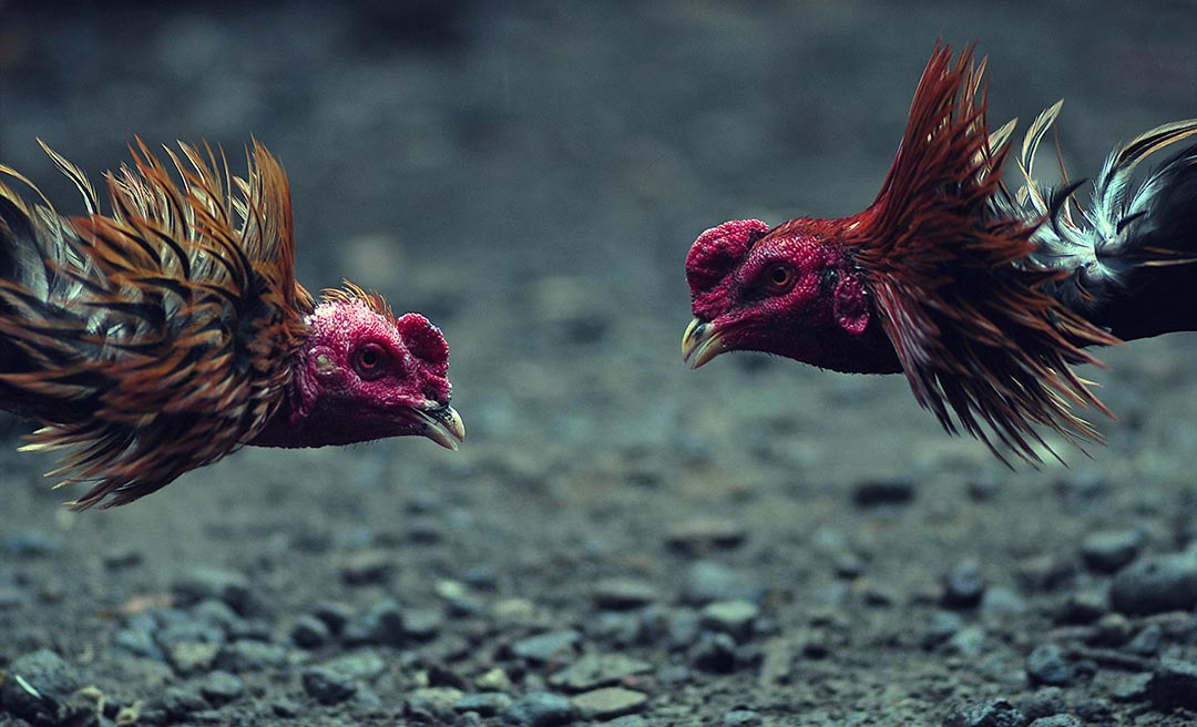 Adu Ayam Bangkok Terbesar S128: Situs Judi Sabung Ayam Bangkok Online S128