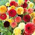 Metode Menanam dan Merawat Bunga Dahlia