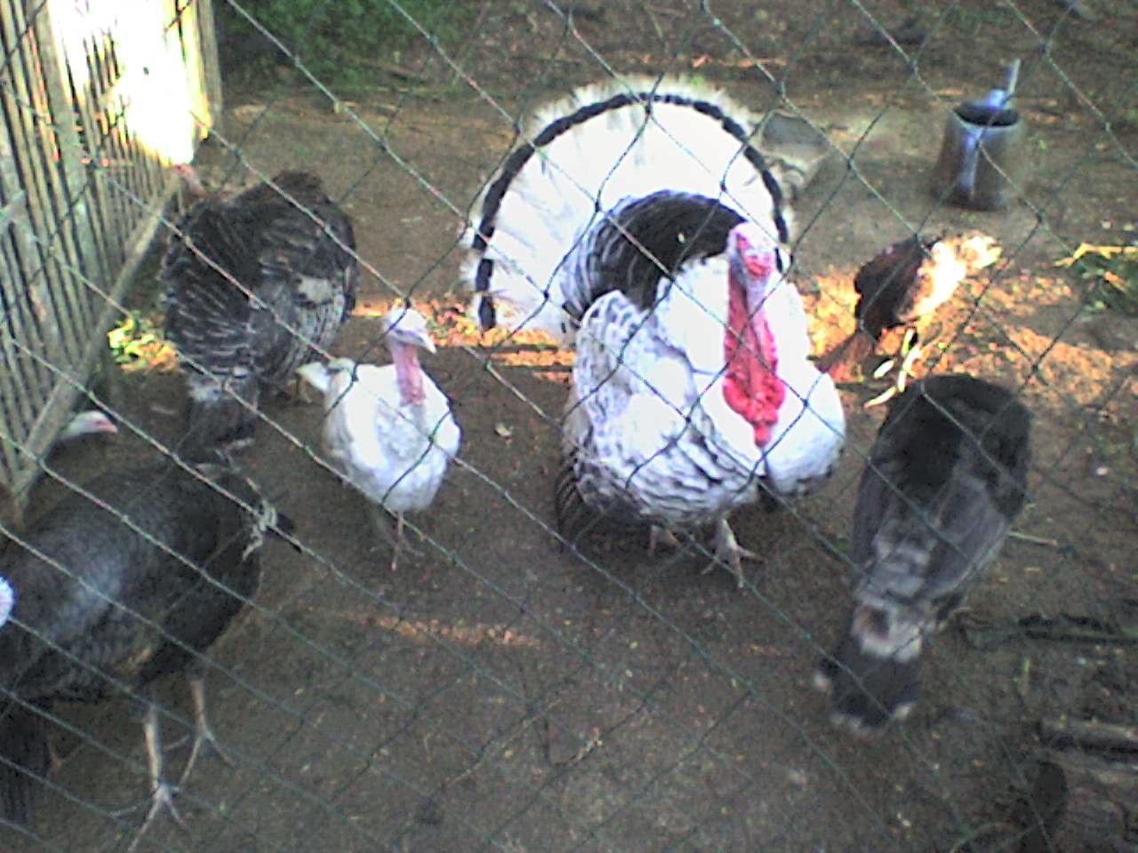 cara ternak ayam: Ternak Ayam Petelur Skala Kecil