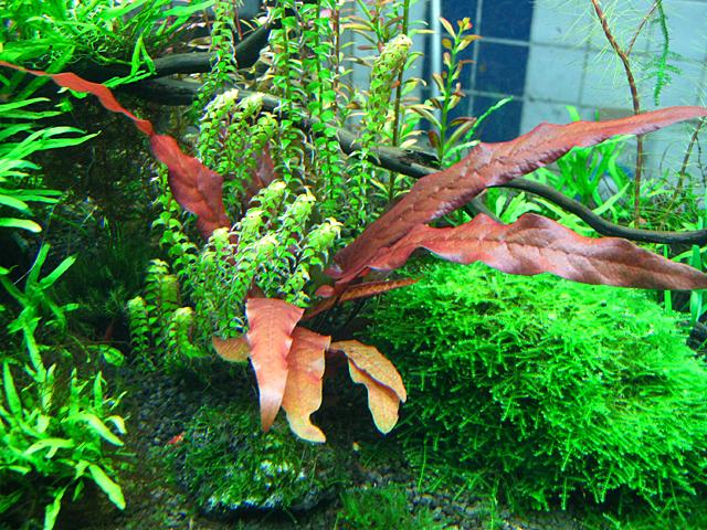 Cây thủy sinh biệt liên đỏ có vẻ đẹp rất riêng