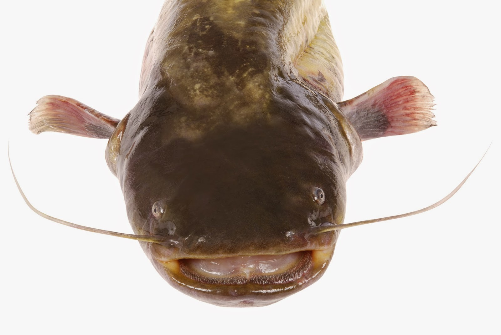 Catfish on white background
