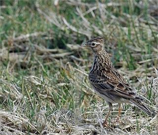 Burung Branjangan - Mengtahui Habitat Burung Branjangan yang Melegenda Untuk Masteran Lomba
