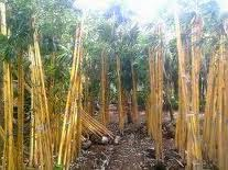 Jual pohon bambu kuning panda | tanaman taman minimalis, tanaman pagar