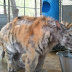 Άρρωστη τίγρη σώθηκε από τσίρκο - Δείτε τη μεταμόρφωσή της - ΦΩΤΟ
