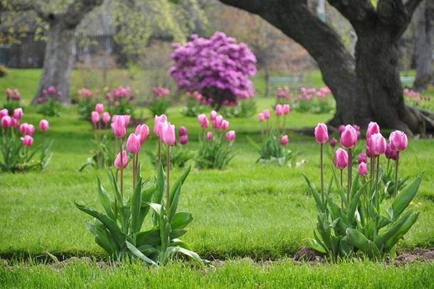 Тюльпаны на фоне газона