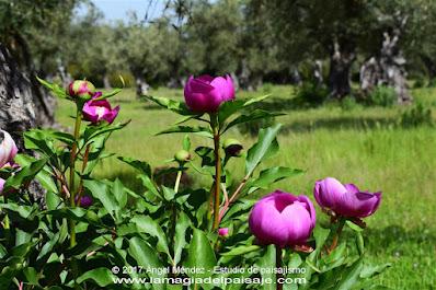 Rosa de Alejandría, paeonia broteroi, peonia, paeonia, flores