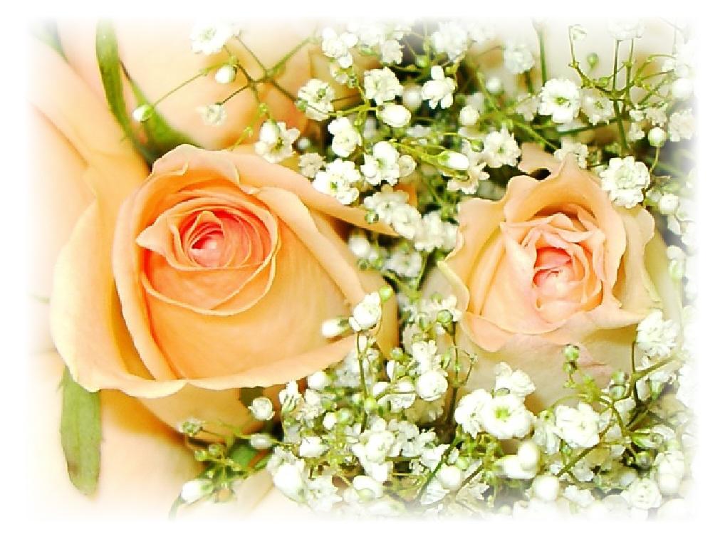 Peach rose wallpapers - Peach rose wallpaper ...