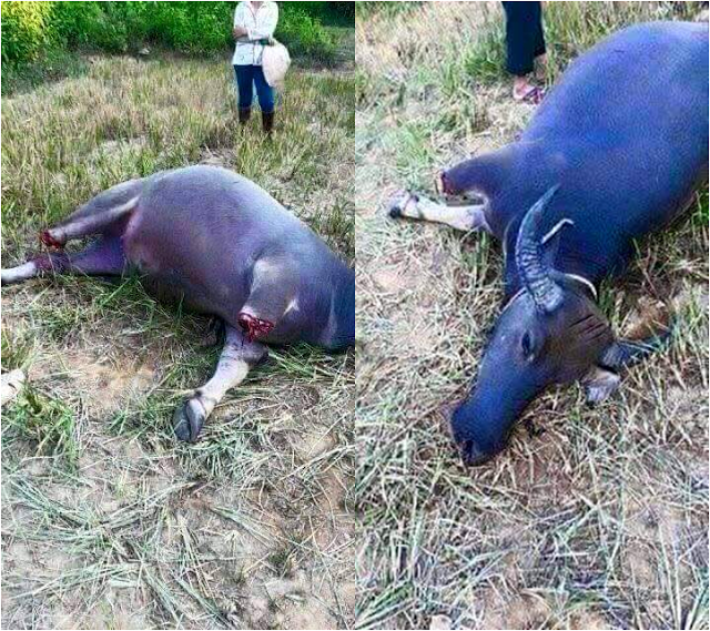 Old Farmer Was Brokenhearted After His Carabaos Legs Was Chopped Off By A Thief Causing It To Die!