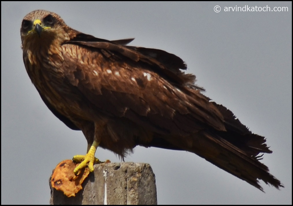 Indian Birds Photography and Details : Indian Spotted ...