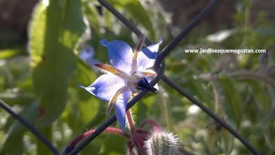 Borrajo (Borago officinalis), hierba espontánea