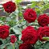 5 Step Penting Cara Menanam Bunga Mawar