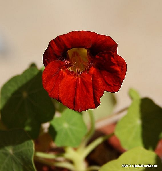 Deep orange nasturtium close-up