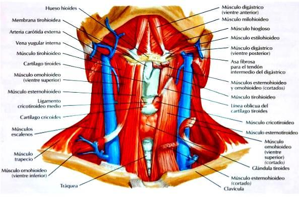 Sistema muscular esquelético humano cuello
