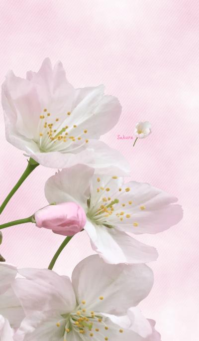 Sakura ~Pink coloring photograph~