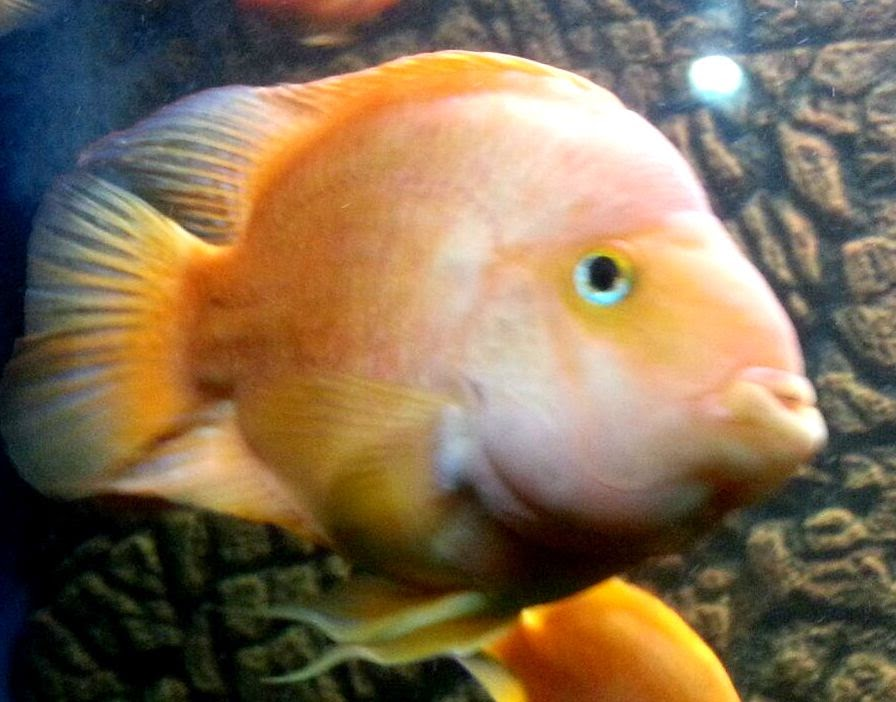 Parrot fish, fresh water fish, surat aquarium fish