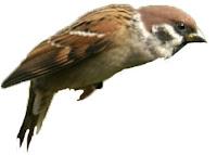 Burung pipt