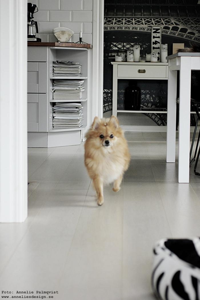 pomeranian, hund, blandras, pappillon, kök, köket,