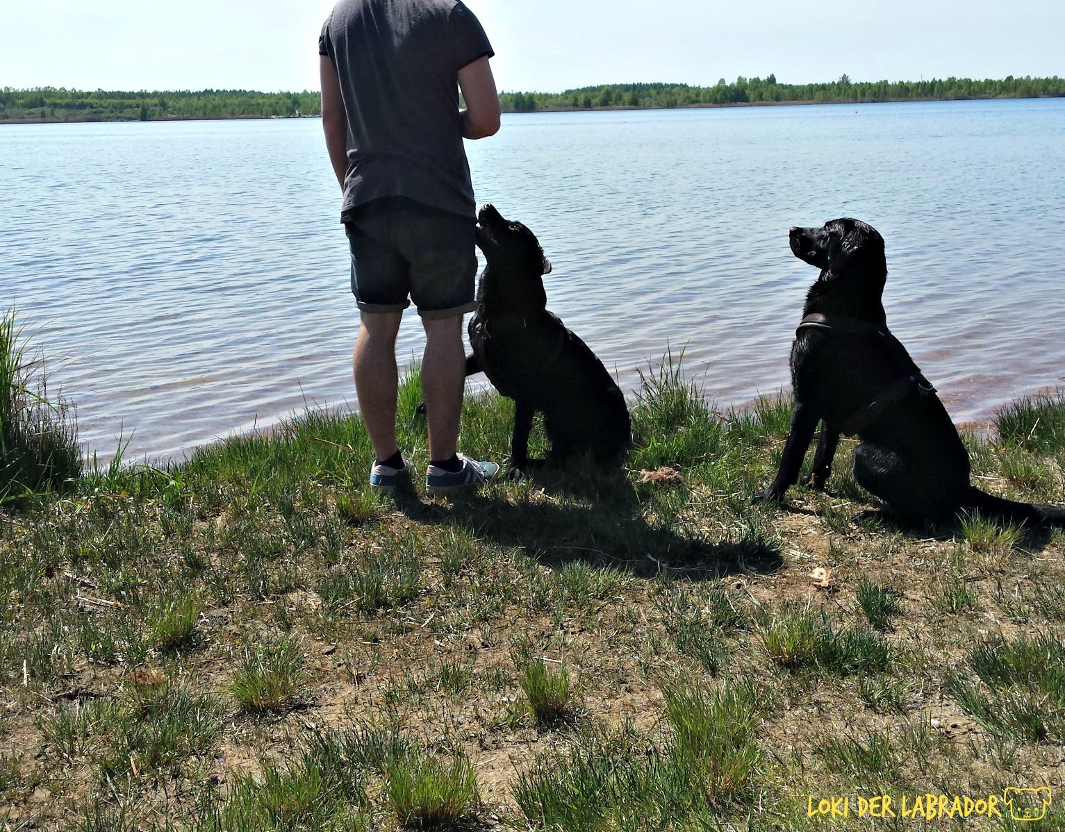 Zwei Labradore am See mit Mann