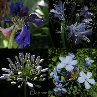 Agapanthus and Plumbago Navy blue Agapanthus inapertus