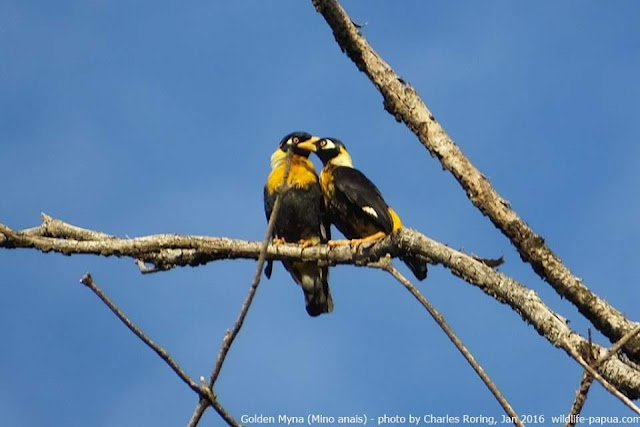 Golden myna (Mino anais) in the forest of West Papua