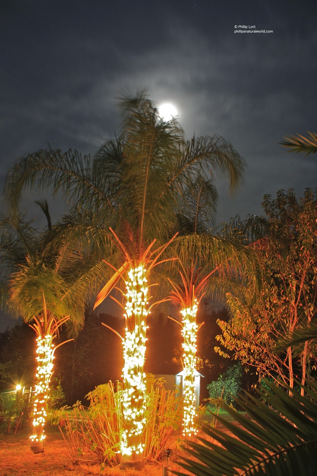 Christmas Palm Trees Phillip S Natural World