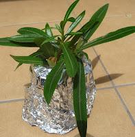 jak samodzielnie rozmnożyć oleander
