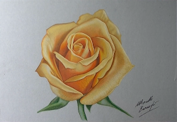 yellow draw rose marcello roses barenghi