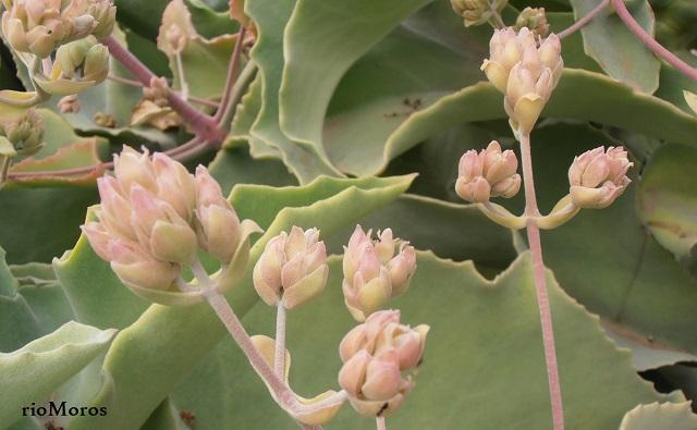 Flores de OREJA DE ELEFANTE Kalanchoe beharensis