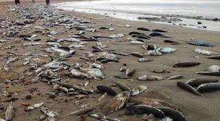 Tunisie: Poissons morts rejetés par la mer à Gabès, explications du ministère de l'Agriculture