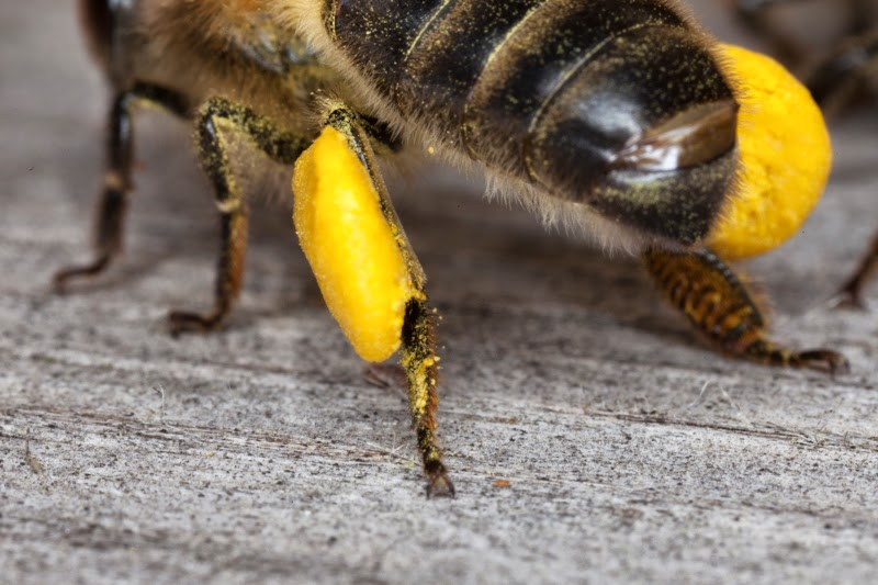 Full pollen sacs on a worker bee.