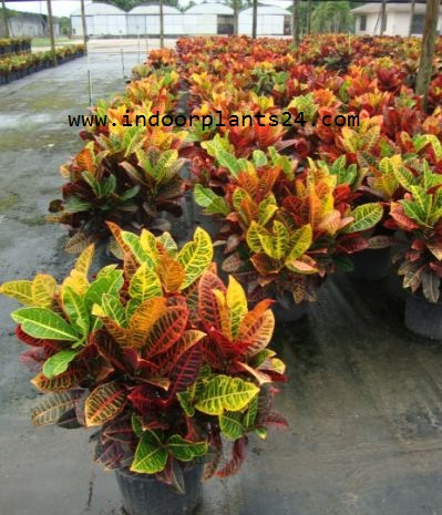 CODIAEUM VARIEGATUM PICTUM PLANT PICTURE