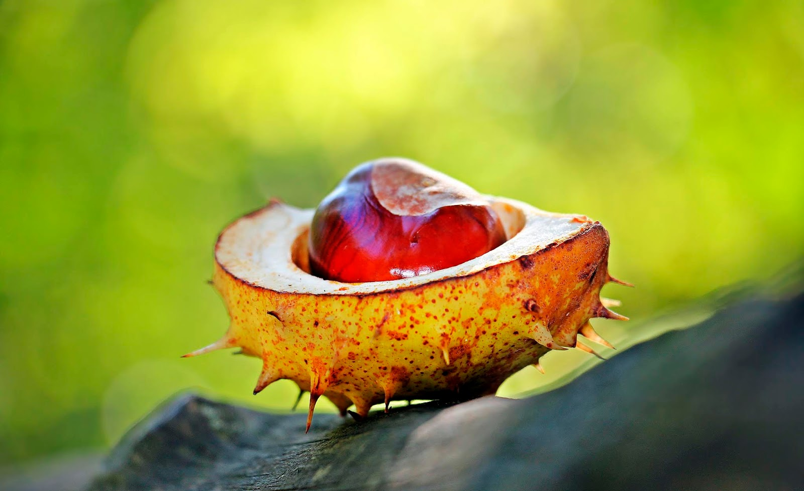 Image showing a conker, the fruit of the horse chestnut tree