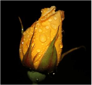 Sevgiliye sarı gül vermek