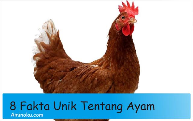 8 fakta unik tentang ayam