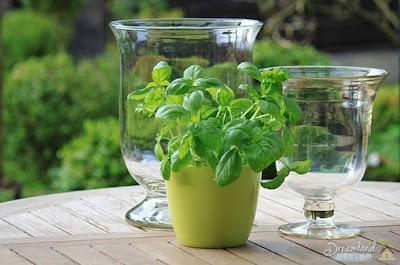 Basil, herbs, green,plant, healthy, pot, herb pot, herb garden