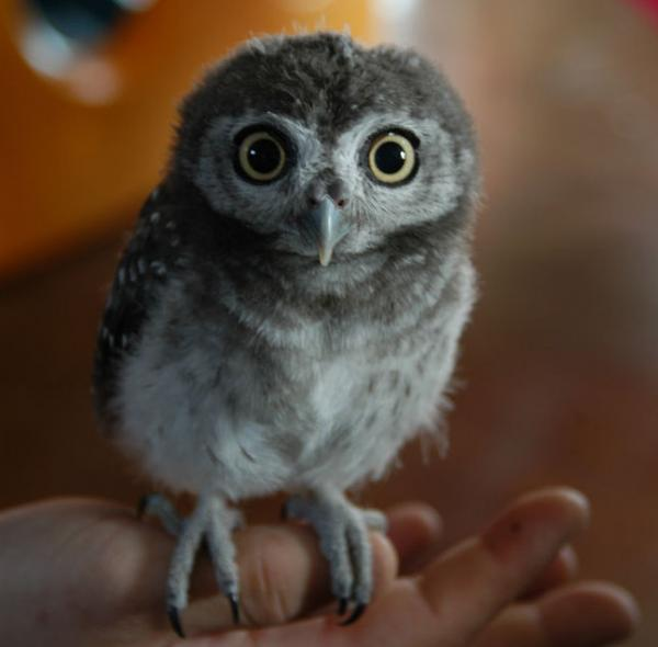 Cute baby white owl - photo#30