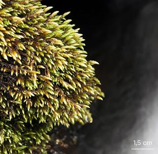 Brachythecium rivulare musgo de la familia Brachytheciaceae en Peñalara