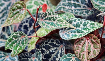 Image result for daun sirih merah