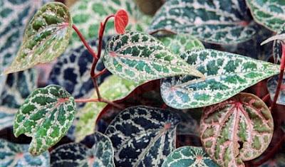 manfaat daun sirih merah untuk diabtes dan cara pengolahanya air rebusan daun sirih teh daun sirih dan salep daun sirih