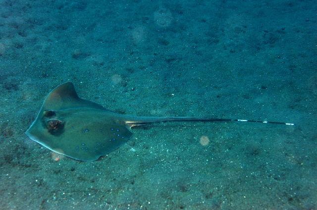 Gambar Ikan Pari
