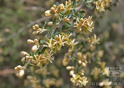 Atamisque (Atamisquea emarginata)