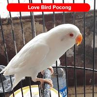 albino parot