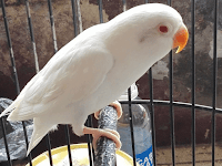 """Perawatan dan keunggulan love bird paruh putih"""