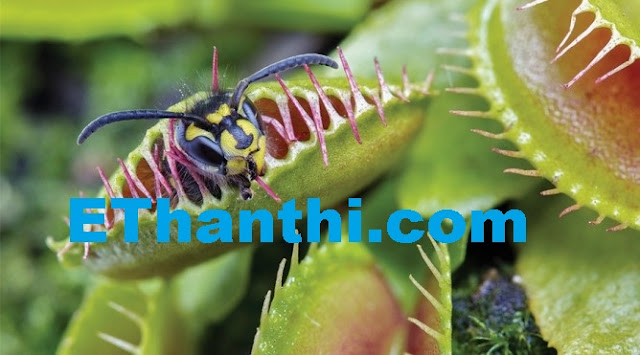 பூச்சிகளை விழுங்கும் செடி   Devouring insects, plant !