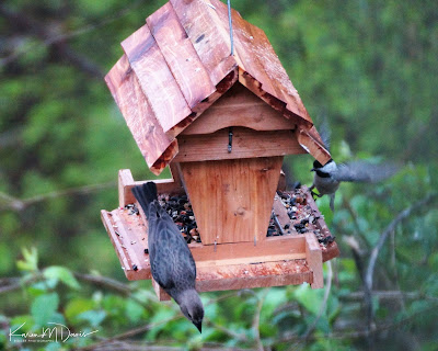 cowbird and chickadee on feeder