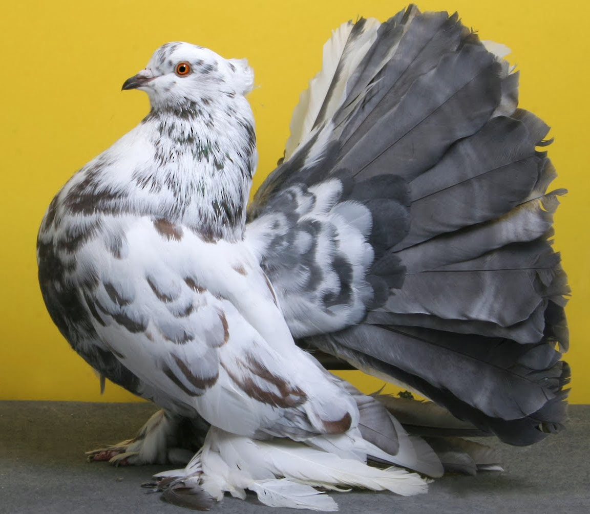 Indian Fantail Pigeon with Origin Description Size ...
