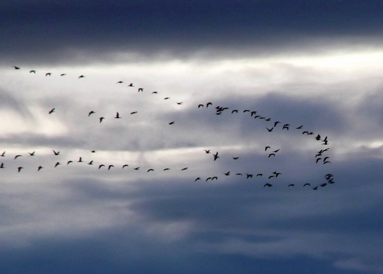 Geese Flying Over Largo Bay