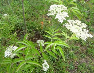 young elder bush in flower