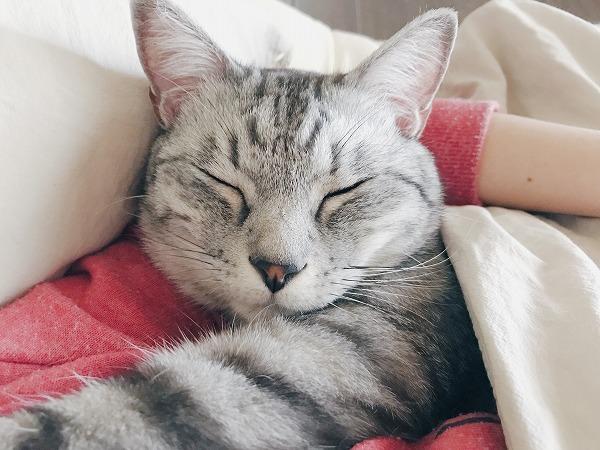 飼い主に腕枕されて寝ているサバトラ猫
