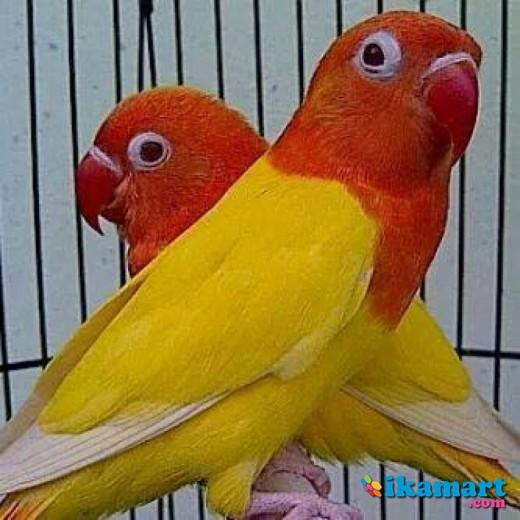 Mengenal Love Bird Cantik Lutino Mata Merah